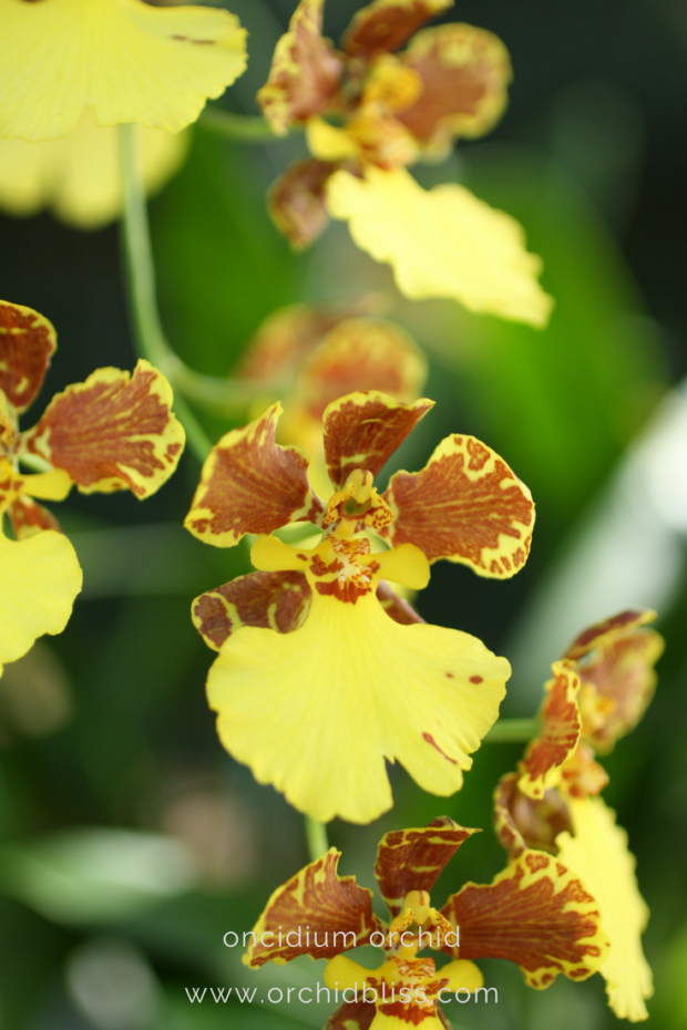 Oncidium-orchids-require-moderate-light-care-for-your-orchids-at-home.png