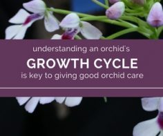 good orchid care begins with understanding their growth cycle