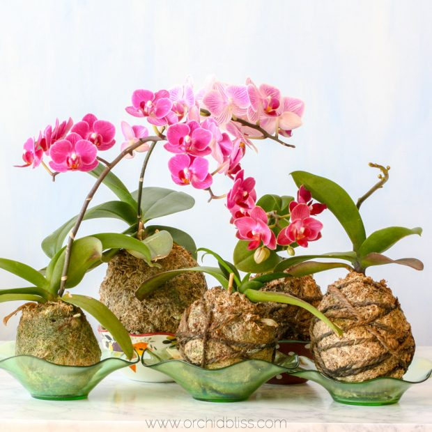 kokedama orchids group