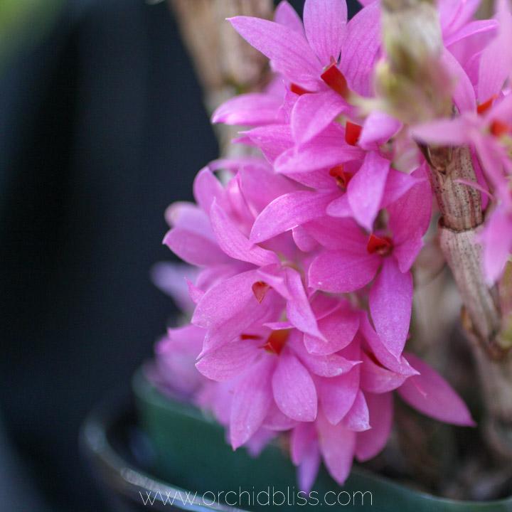 Dendrobium bracteosum x Tanii