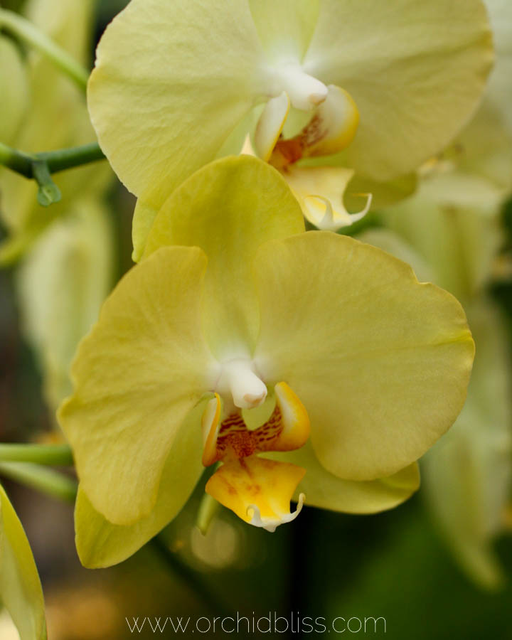 Yellow orchid - Orchid Show