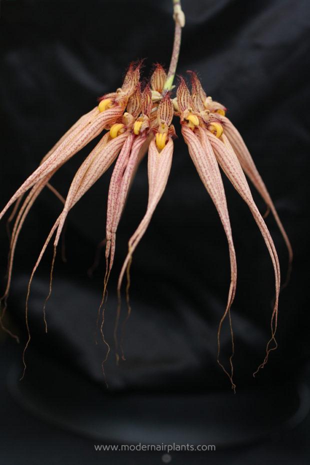 cirrhopetalum - SLC