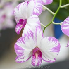 dendrobium white purple