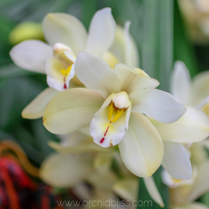 white orchid - cymbidium