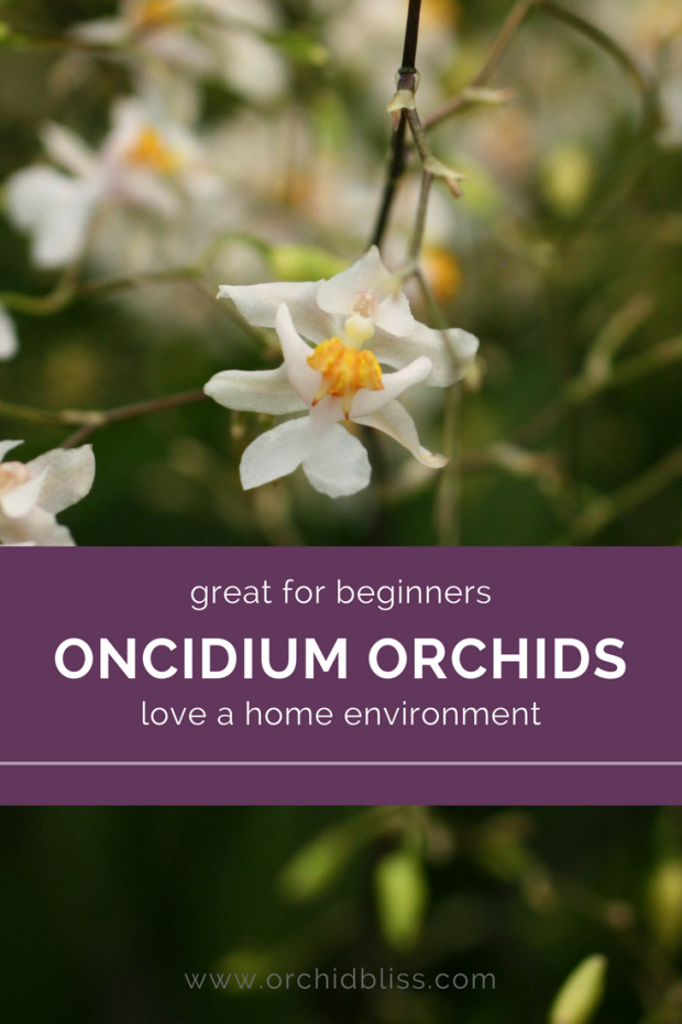 Discover how easy it is to care for an Oncidium orchid