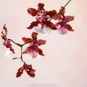 Oncidium vs. Phalaenopsis care