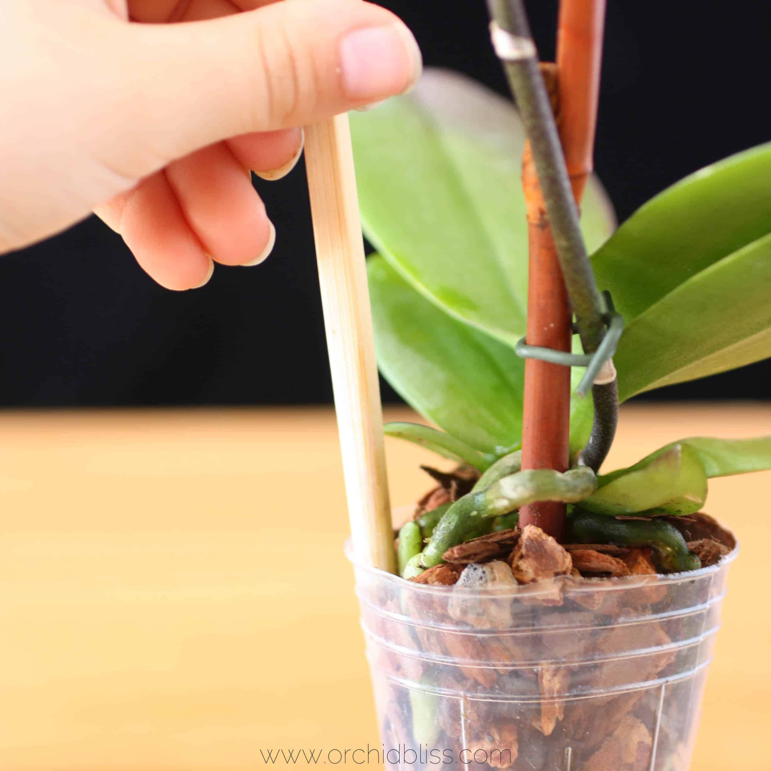 potting orchid