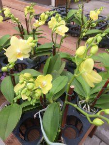 Floralistic mini orchids
