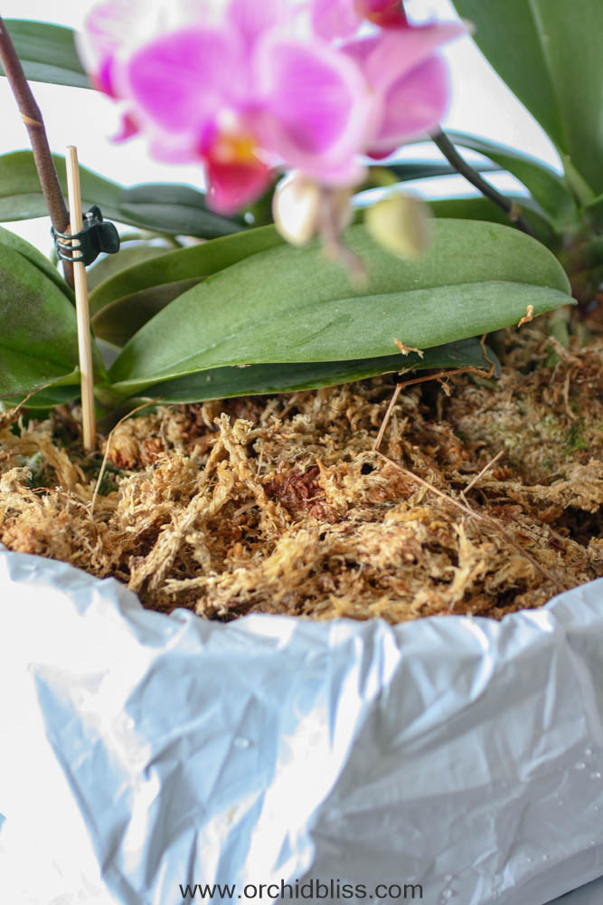 add sphagnum moss - multiple orchids one pot