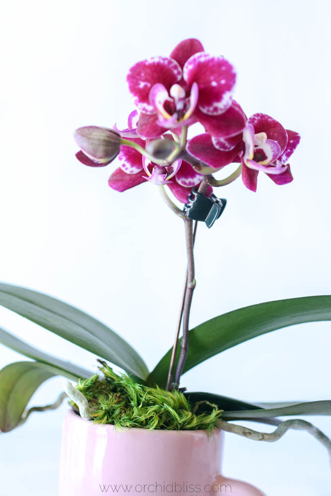 mood moss top dressing - orchid display prep