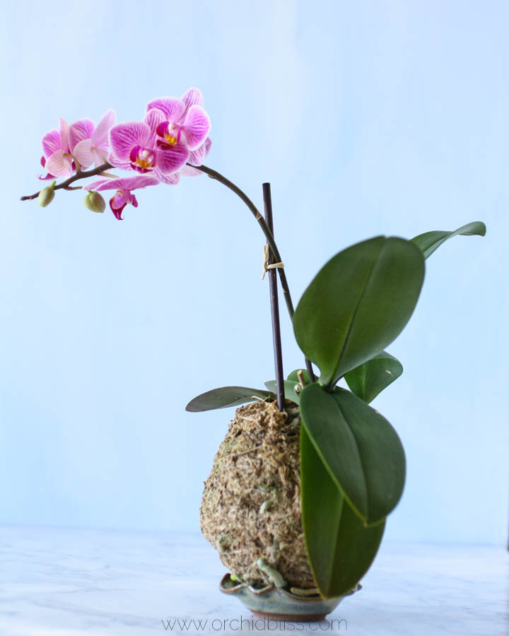 kokedama orchid in bloom