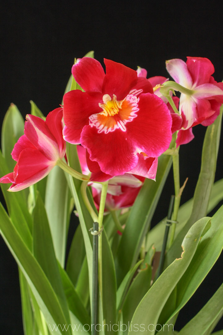 orchid terminology - transpiration