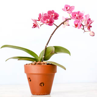 Terracotta - orchid pot