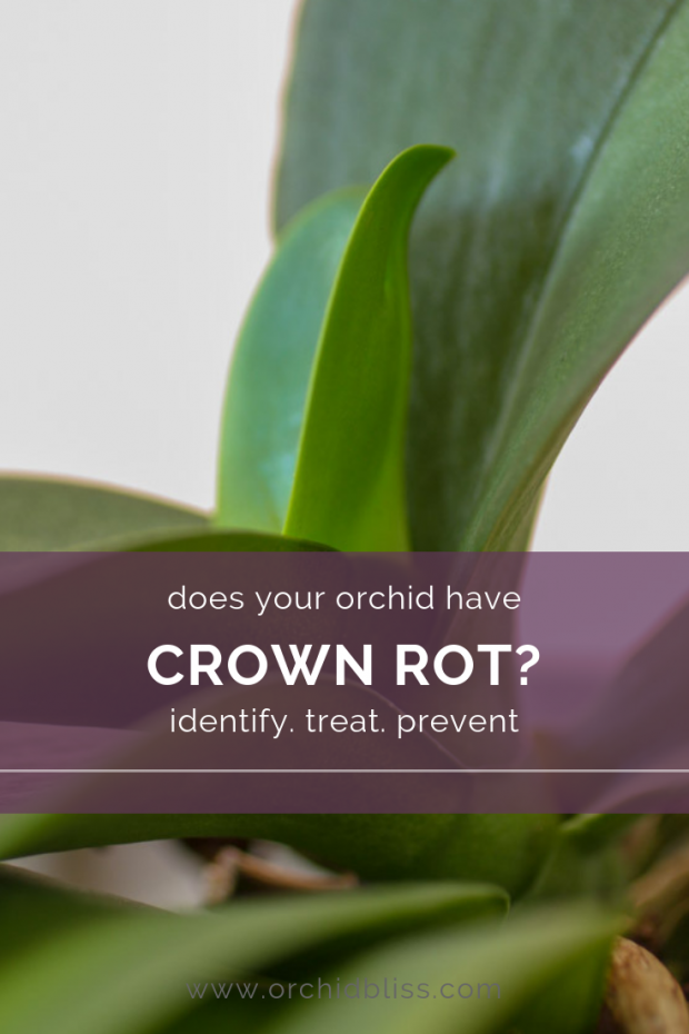 Discover how to identify treat and prevent orchid crown rot