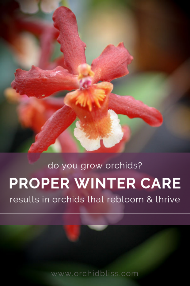 Learn how to properly care for your orchid this winter