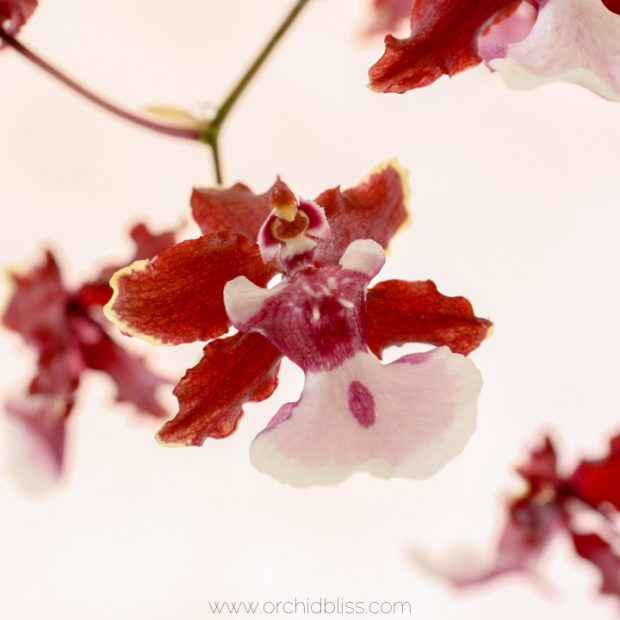 oncidium orchid - sharry baby - fragrant orchid