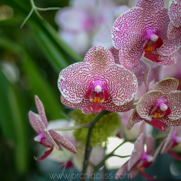 speckled phal - orchid