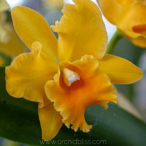 yellow cattleya orchid