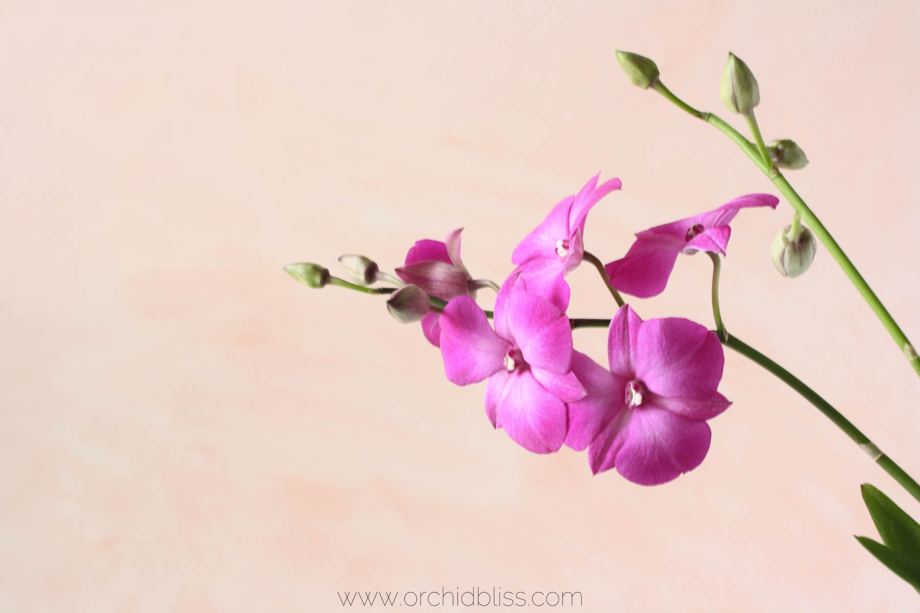 dendrobium phalaenopsis - spring blooming orchid