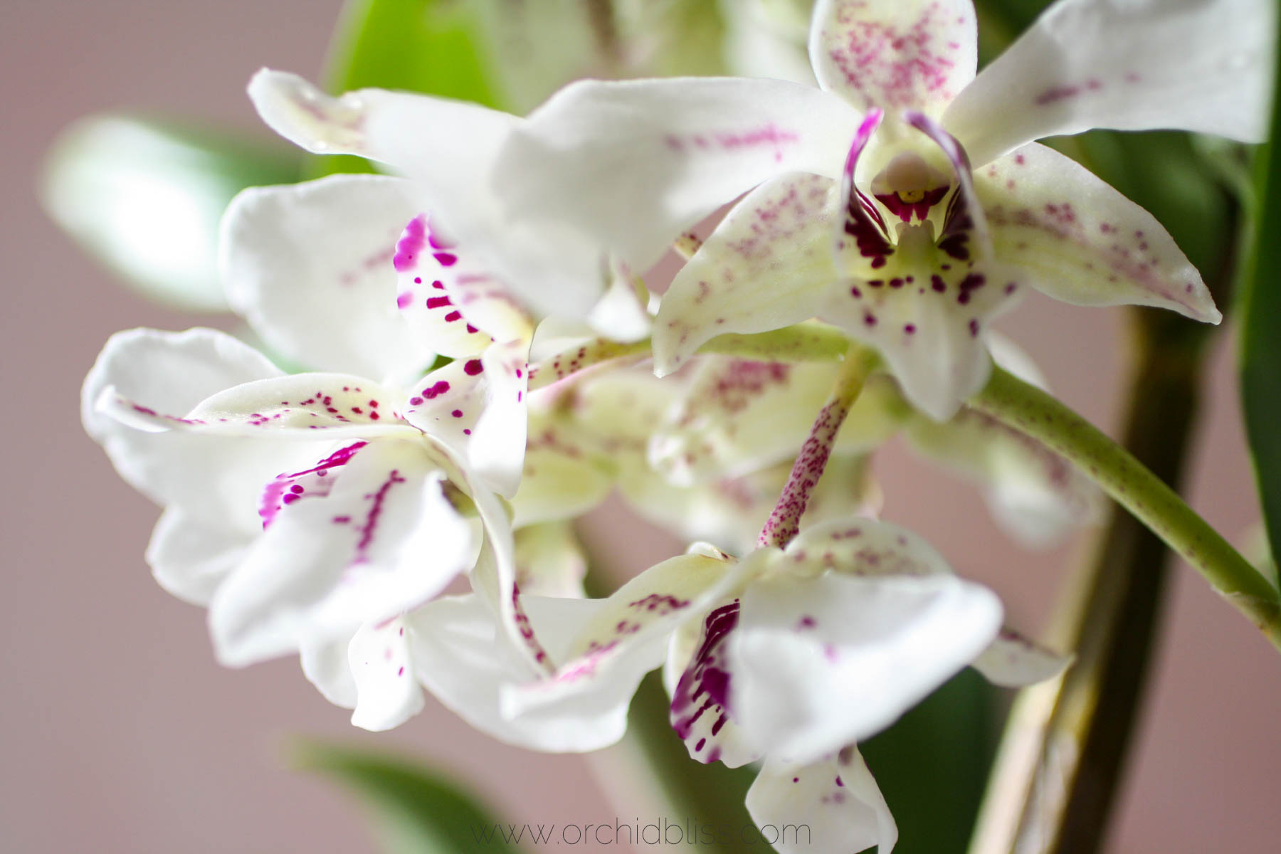 roy tokunaga orchid - spring orchid culture