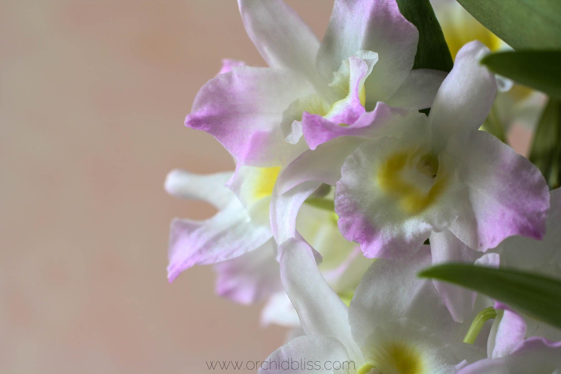 spring orchid care - dendrobium