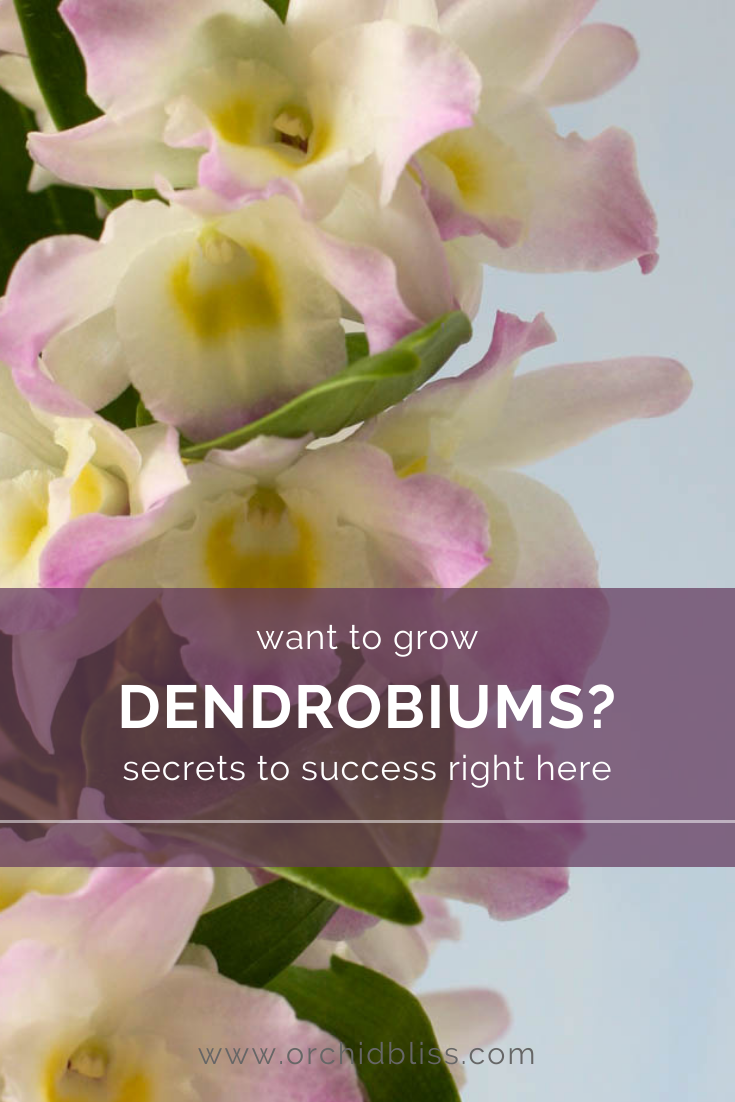 dendrobium orchids that are easy to grow
