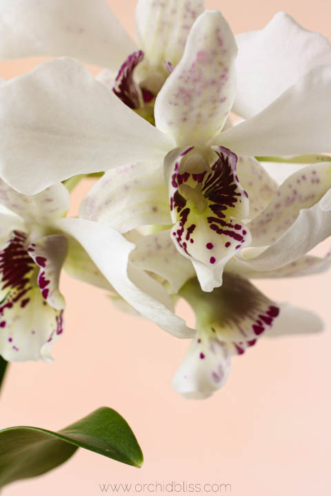 warm-growing latouria dendrobium orchids are easy to grow