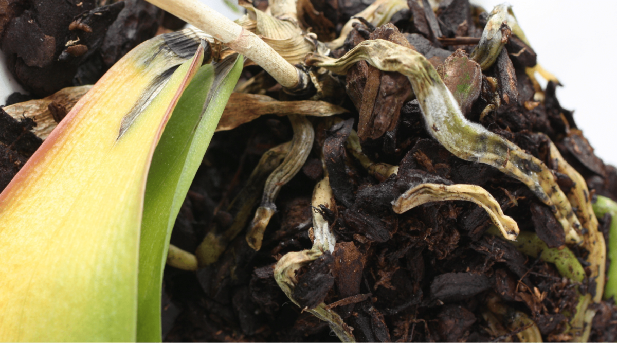 orchids curing root rot