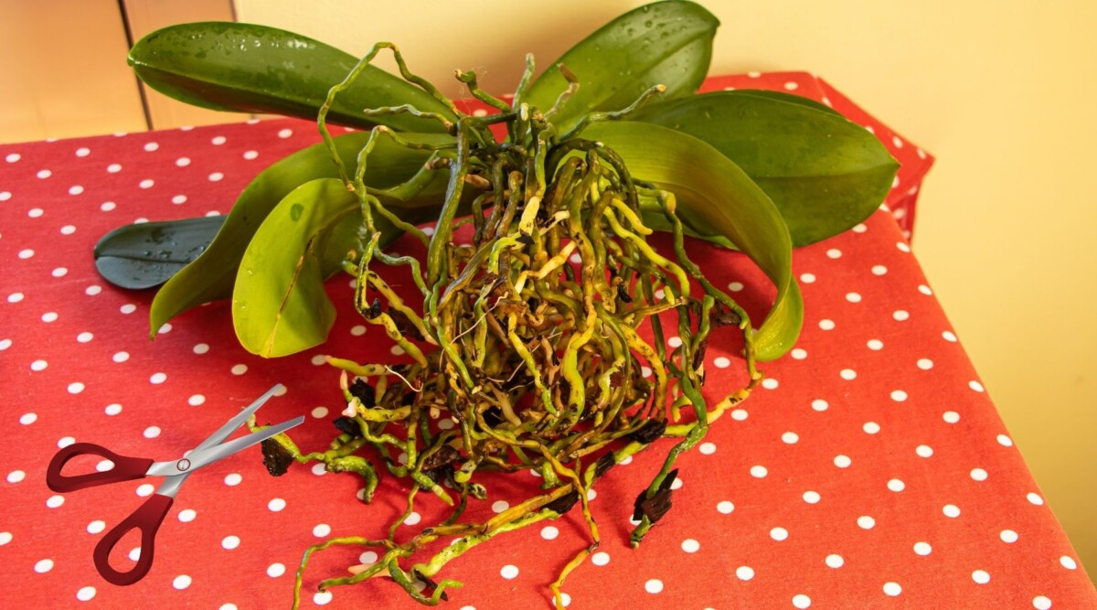 trim orchid roots