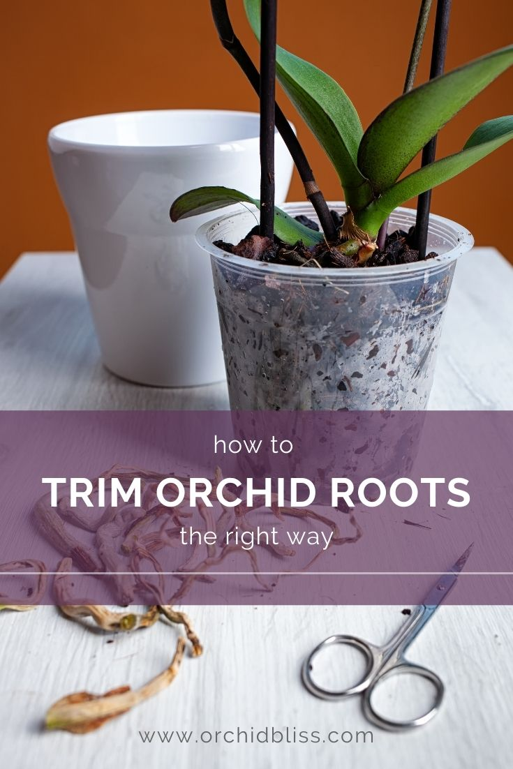 how to trim orchid roots