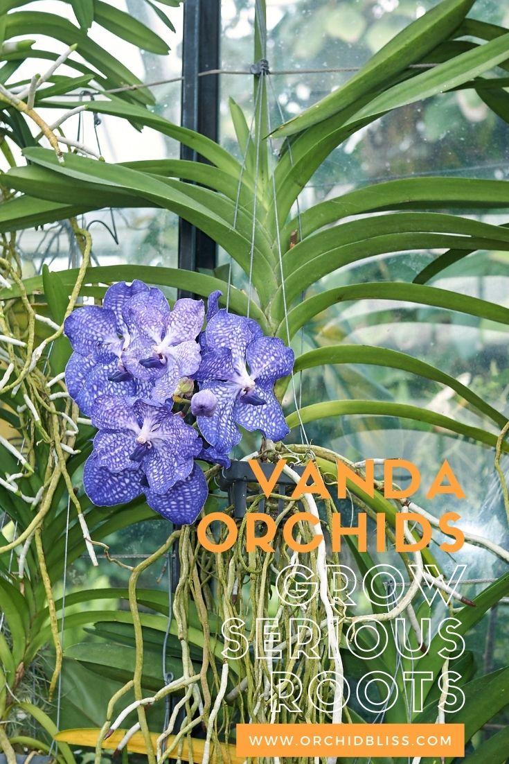 trim orchid roots - vanda orchids
