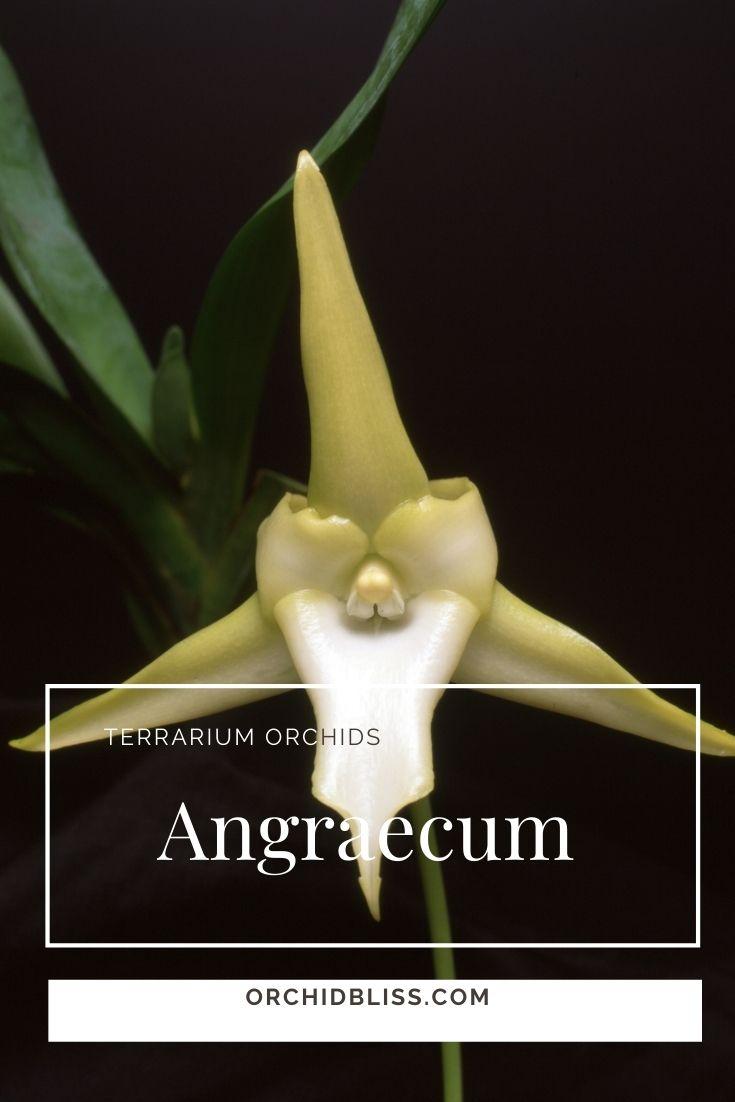 Angraecum Orchids