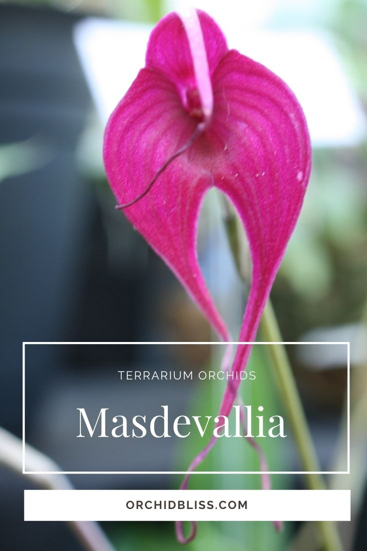 Masdevallia Orchids - ideal terrarium orchids