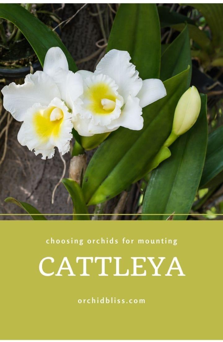 cattleya - best orchid mounts