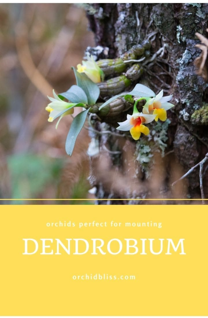 dendrobium orchids - perfect for mounting
