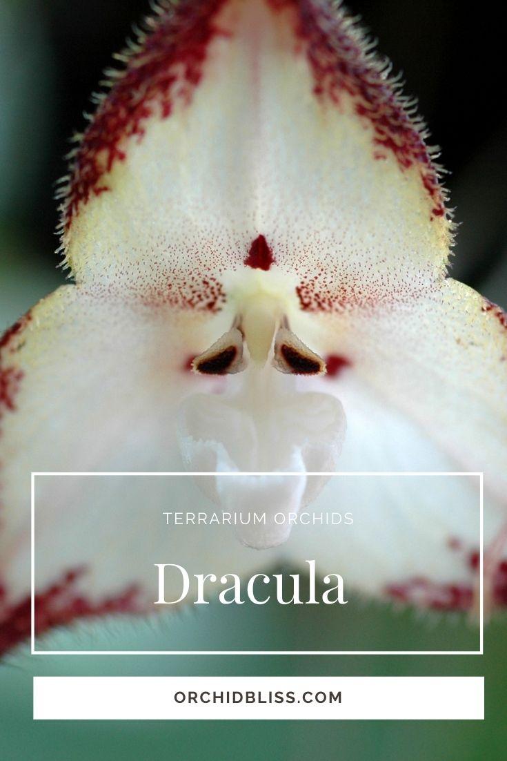 dracula orchid - top terrarium orchids