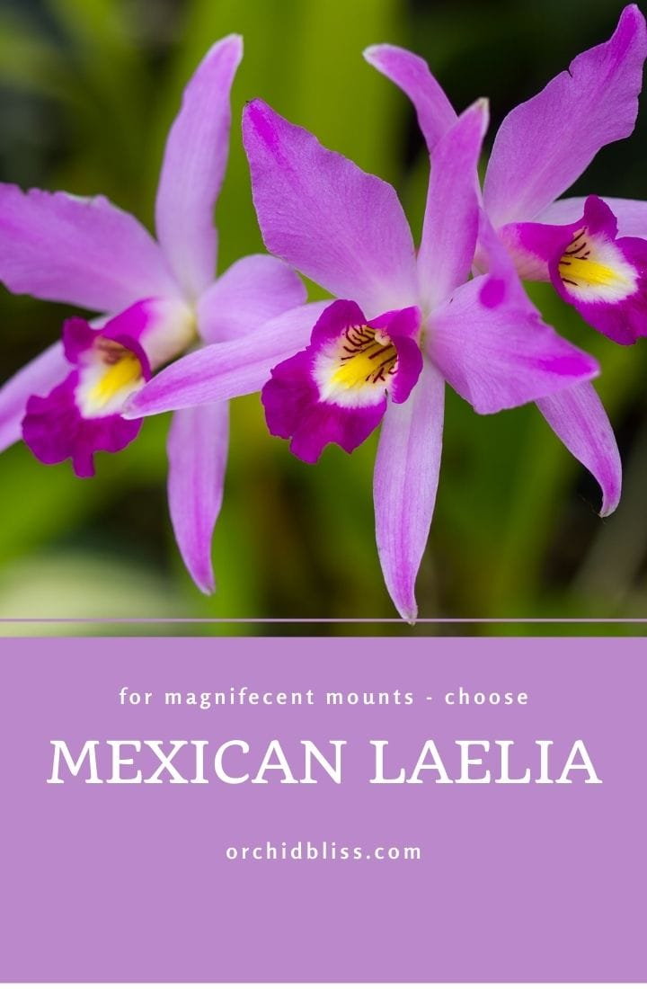 Mexican laelia - mounted orchids