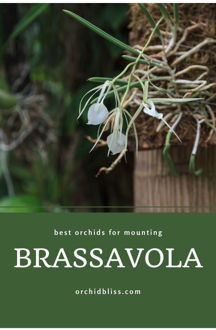 mounted orchids - brassavola