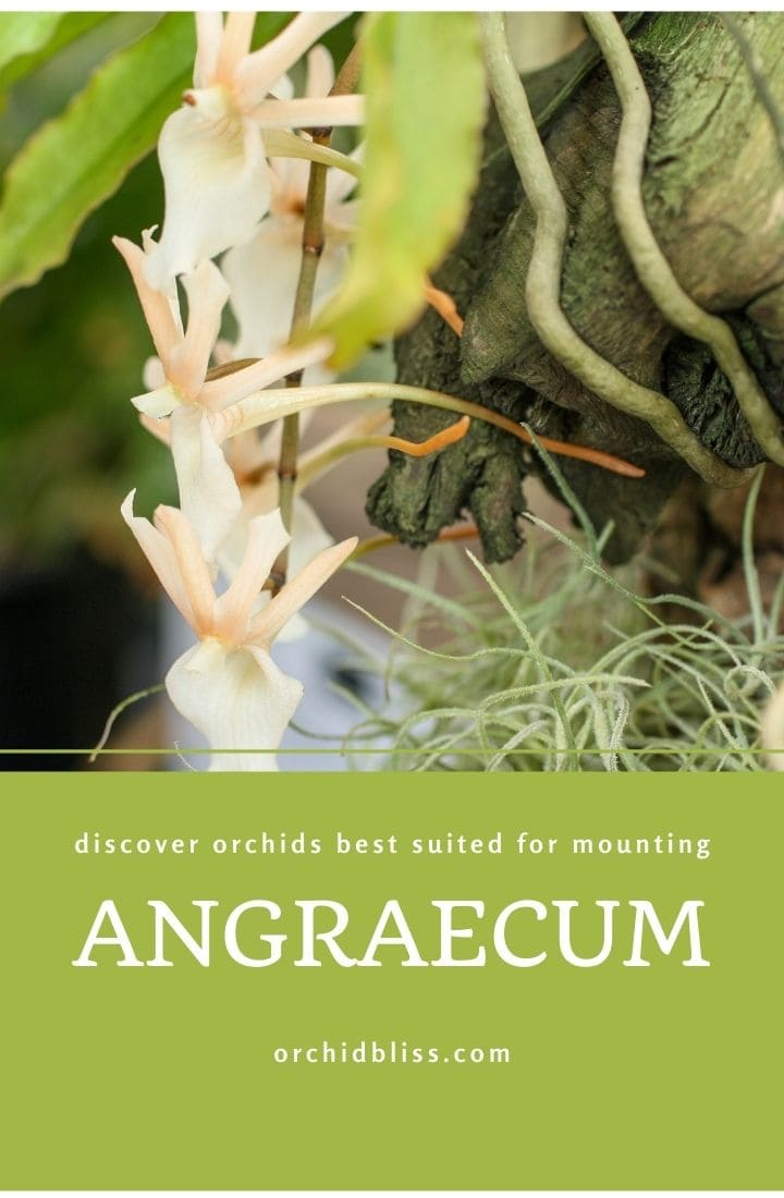 mounting orchids - angraecum orchids