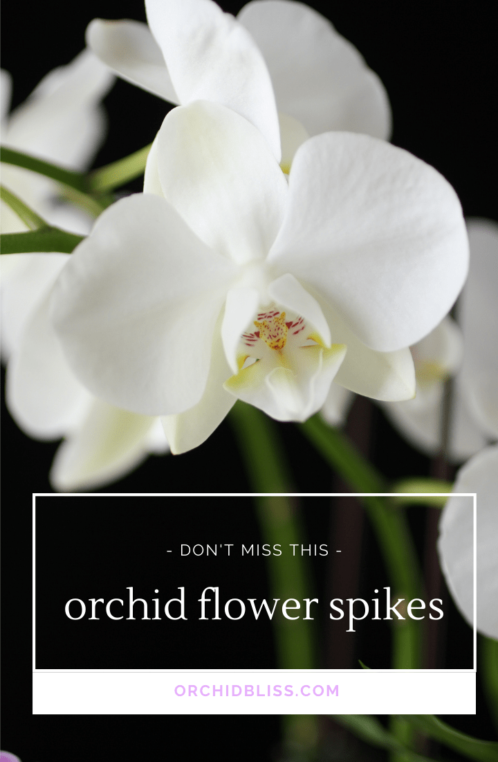 orchid flower spikes