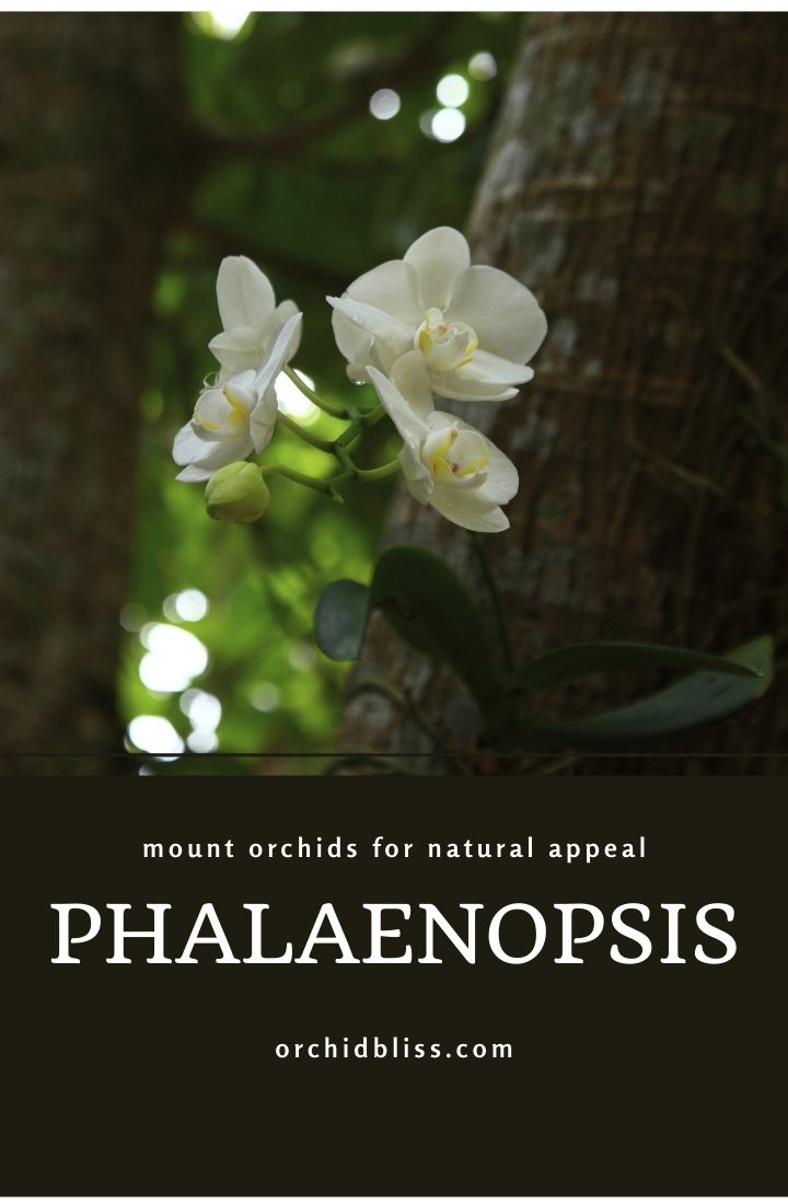 phalaenopsis - great choice - mounted orchids