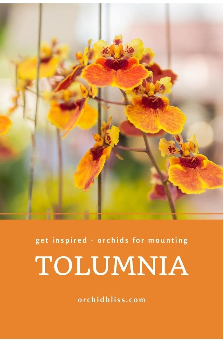 tolumnia - mounted orchids