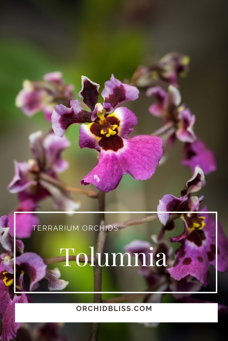 tolumnia orchids make terrific terrarium orchids