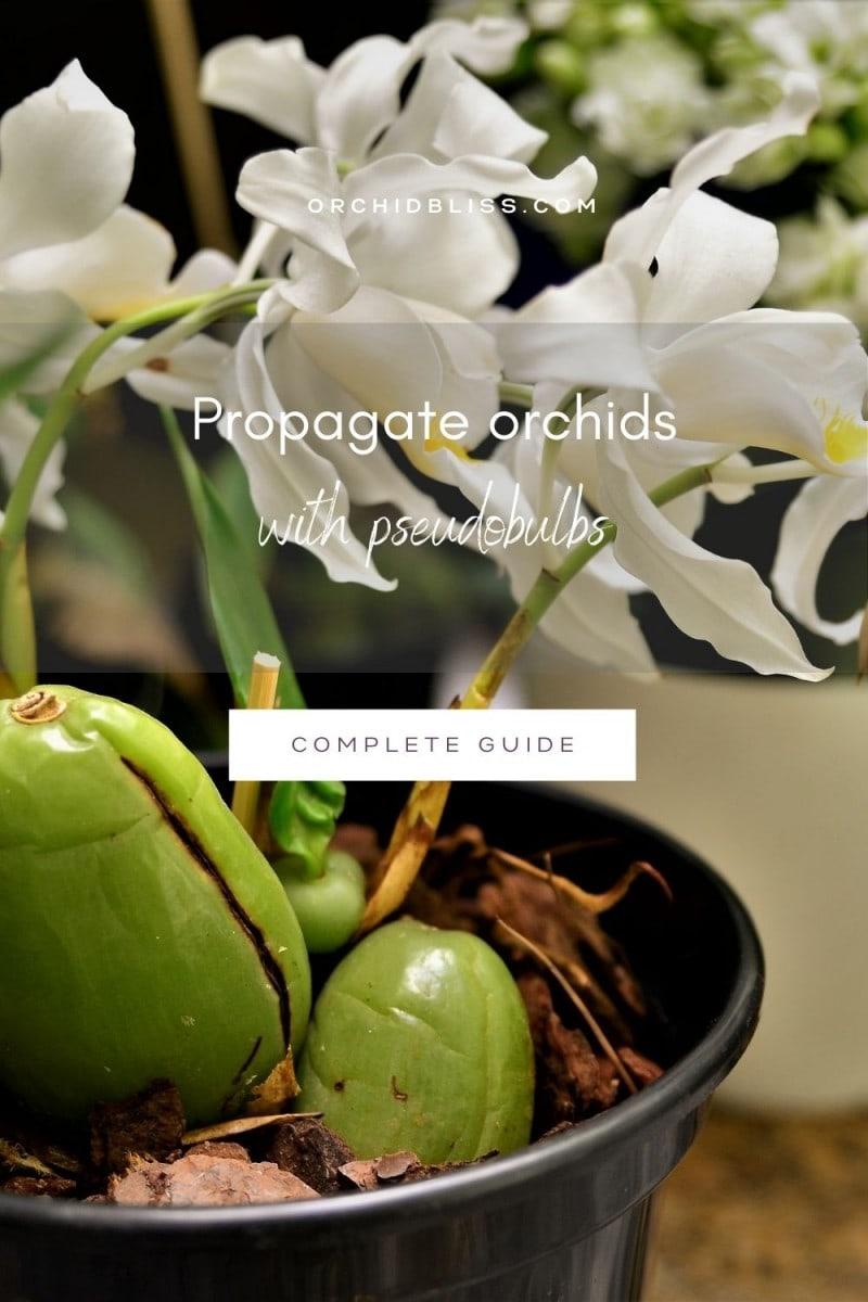 Propagate orchids - divide pseudobulbs