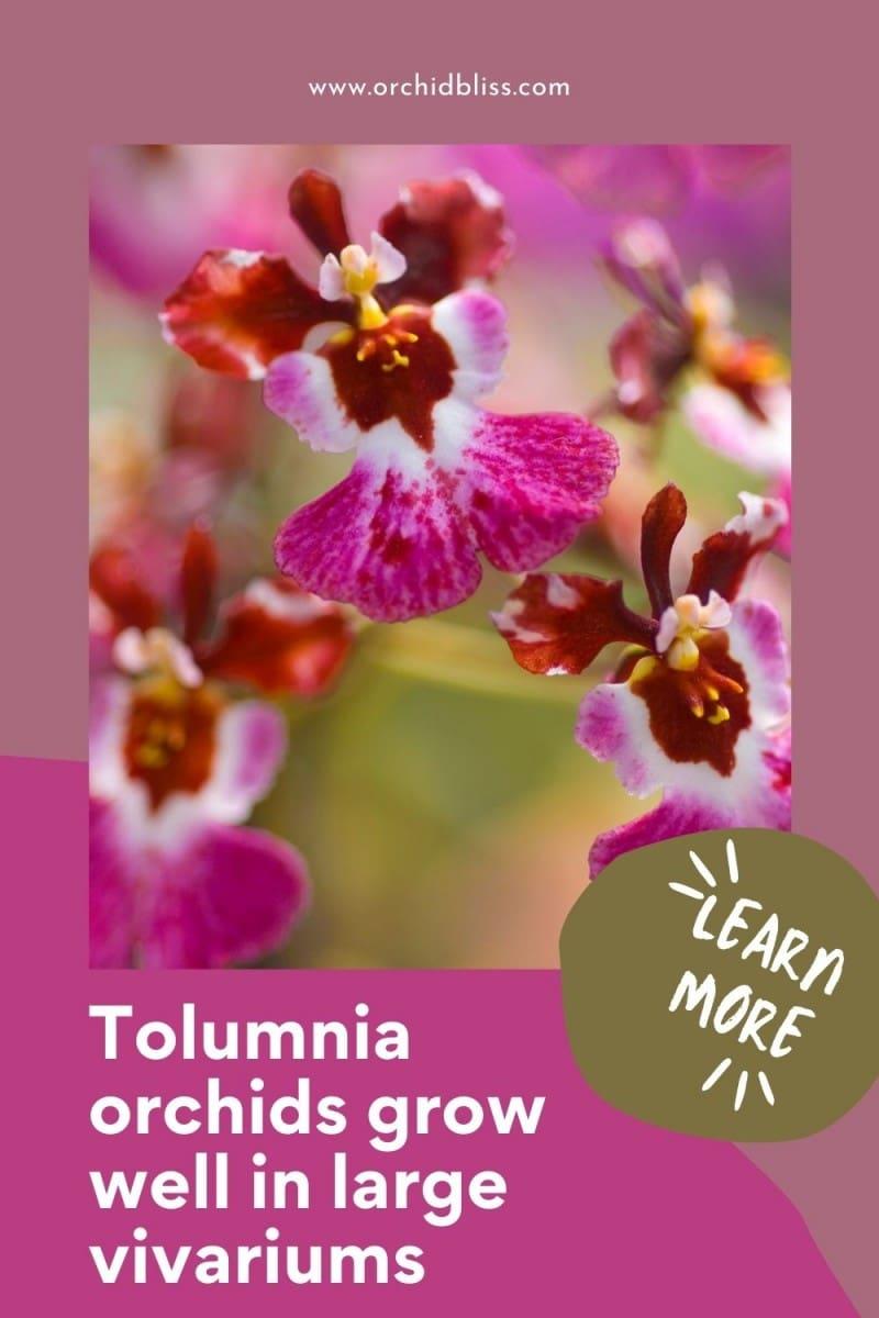 Tolumnia orchids - vivariums