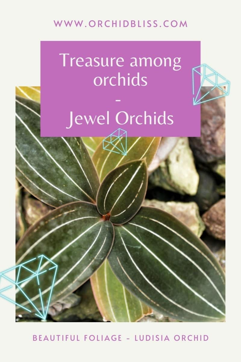 intricate leaf patterns - jewel orchids