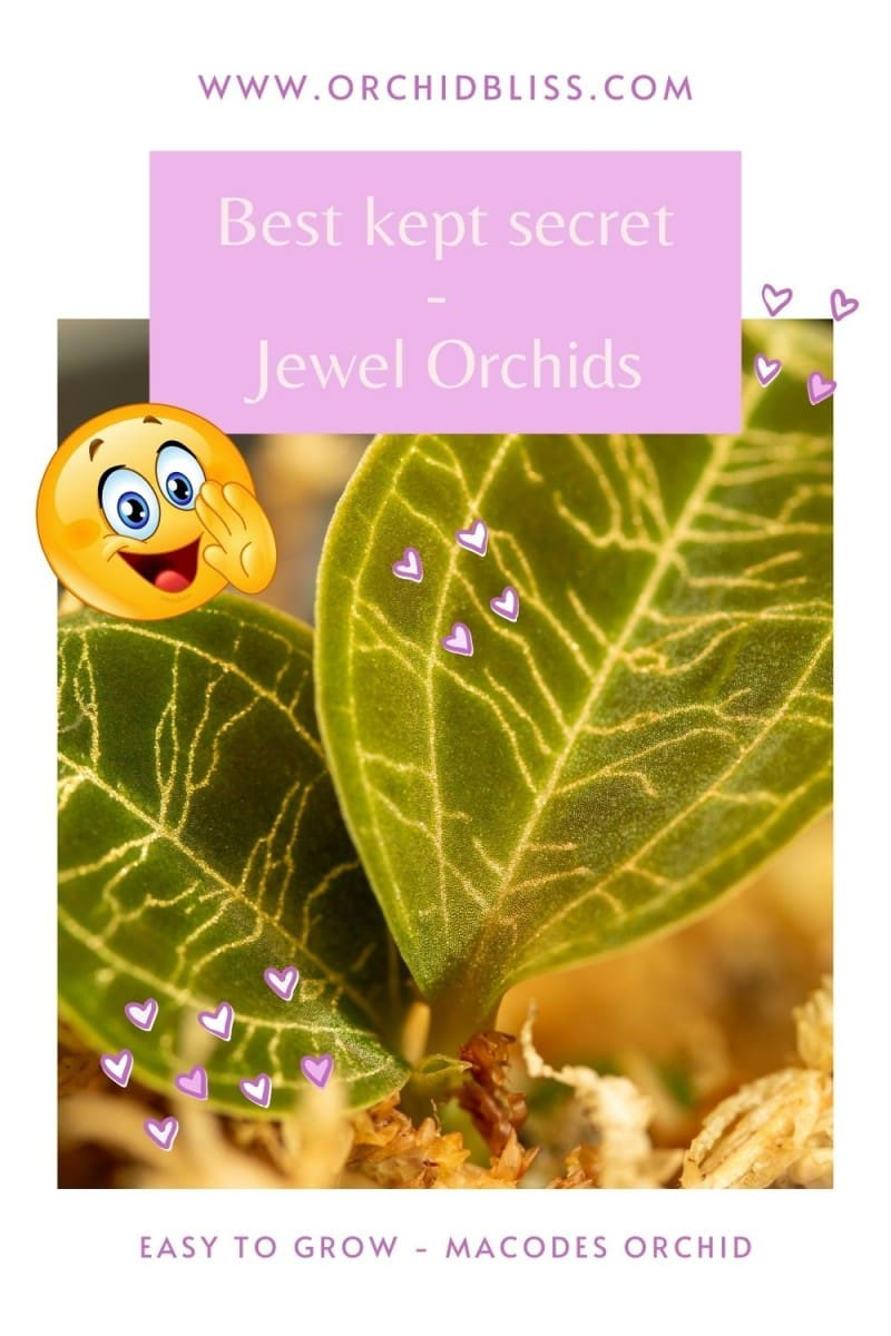 jewel orchids - easy to grow