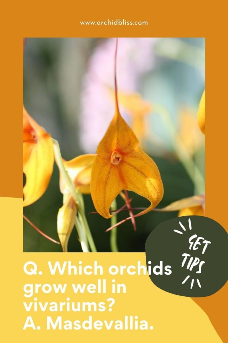 orchids for vivariums -Masdevallia