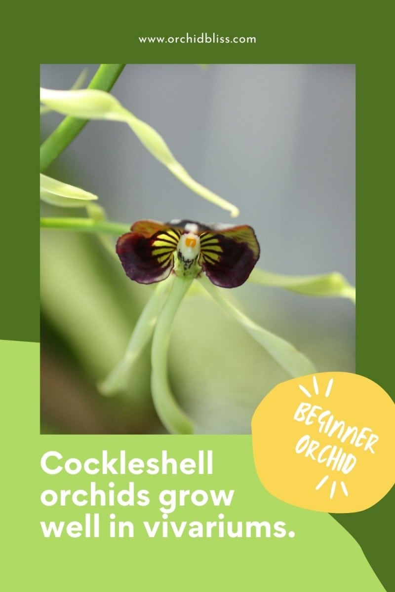 plants for vivariums - Cockleshell Orchids